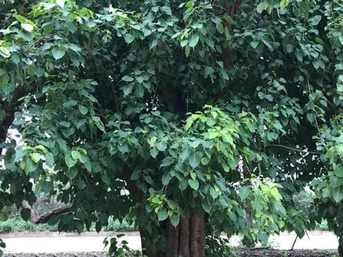 Công dụng cây Bồ Đề